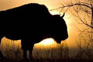 Bison Dawn