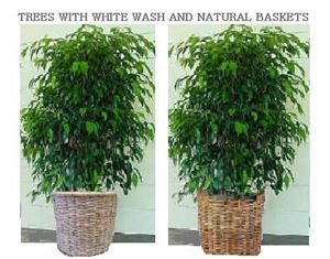 24 Hour Plant Rentals, Tree And Palm Rentals, Sherman Oaks — Ficus with white wash and natural baskets