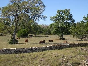 Forks Of Medlin Creek, Dripping Springs — Cattle across Medlin Creek